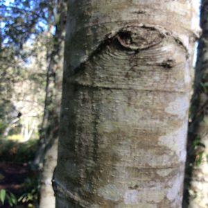 alder eye